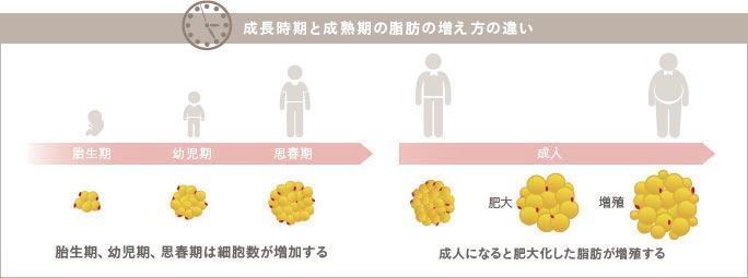 脂肪細胞が増加する時期と仕組み